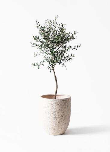 観葉植物 オリーブの木 7号 創樹 ビアスアルトエッグ 白 付き