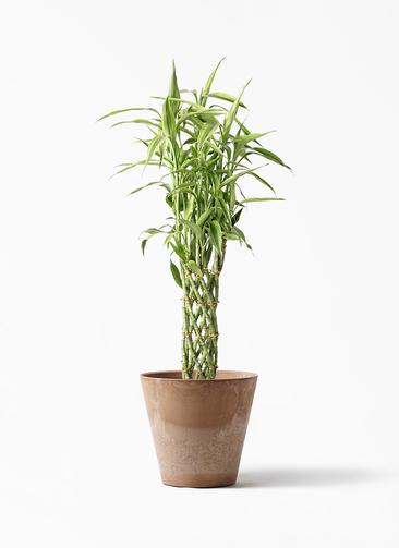 観葉植物 ドラセナ ミリオンバンブー(幸運の竹) 8号 アートストーン ラウンド ベージュ 付き