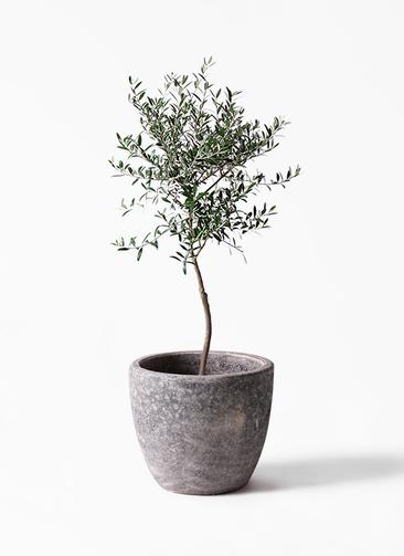 観葉植物 オリーブの木 7号 創樹 アビスソニアミドル 灰 付き