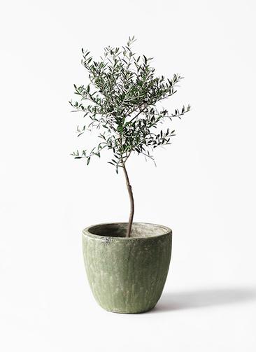 観葉植物 オリーブの木 7号 創樹 アビスソニアミドル 緑 付き