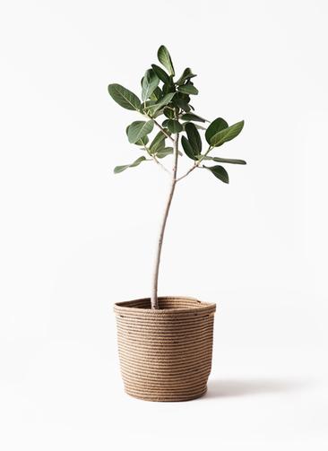 観葉植物 フィカス ベンガレンシス 8号 ストレート リブバスケットNatural 付き