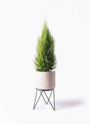 観葉植物 ゴールドクレスト 8号 ノーマル ビトロ エンデカ 鉢カバースタンド付 クリーム 付き