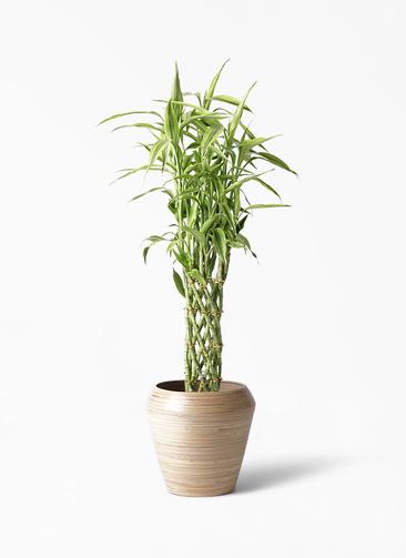 観葉植物 ドラセナ ミリオンバンブー(幸運の竹) 8号 アルマ ミドル 付き
