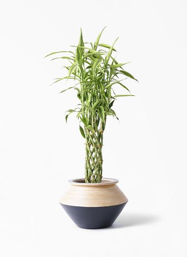 観葉植物 ドラセナ ミリオンバンブー(幸運の竹) 8号 アルマジャー 黒 付き