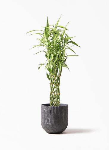 観葉植物 ドラセナ ミリオンバンブー(幸運の竹) 8号 カルディナダークグレイ 付き