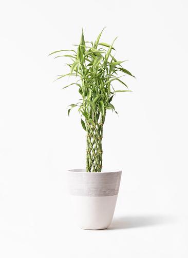 観葉植物 ドラセナ ミリオンバンブー(幸運の竹) 8号 ジュピター 白 付き