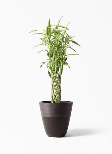 観葉植物 ドラセナ ミリオンバンブー(幸運の竹) 8号 ジュピター 黒 付き