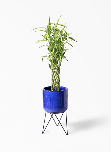 観葉植物 ドラセナ ミリオンバンブー(幸運の竹) 8号 ビトロ エンデカ 鉢カバースタンド付 ブルー 付き