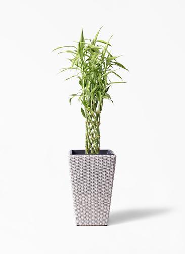観葉植物 ドラセナ ミリオンバンブー(幸運の竹) 8号 ウィッカーポット スクエアロング OT 白 付き