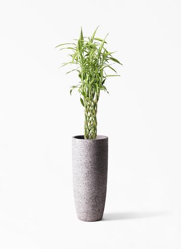観葉植物 ドラセナ ミリオンバンブー(幸運の竹) 8号 エコストーントールタイプ Gray 付き