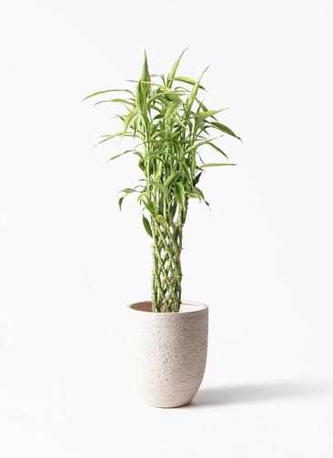 観葉植物 ドラセナ ミリオンバンブー(幸運の竹) 8号 ビアスアルトエッグ 白 付き