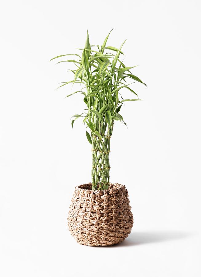観葉植物 ドラセナ ミリオンバンブー(幸運の竹) 8号 ラッシュバスケット Natural 付き