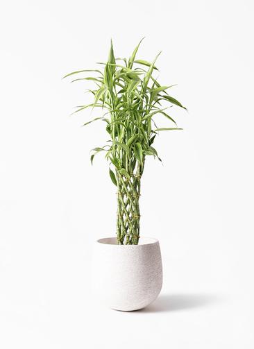 観葉植物 ドラセナ ミリオンバンブー(幸運の竹) 8号 エコストーンwhite 付き
