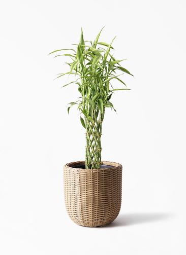 観葉植物 ドラセナ ミリオンバンブー(幸運の竹) 8号 ウィッカーポット エッグ NT ベージュ 付き