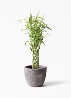 観葉植物 ドラセナ ミリオンバンブー(幸運の竹) 8号 アビスソニア ミドル 灰 付き