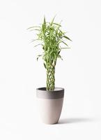 観葉植物 ドラセナ ミリオンバンブー(幸運の竹) 8号 ファイバーストーン カプリ サンディホワイト 付き