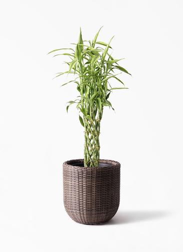 観葉植物 ドラセナ ミリオンバンブー(幸運の竹) 8号 ウィッカーポット エッグ NT 茶 付き