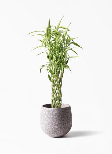 観葉植物 ドラセナ ミリオンバンブー(幸運の竹) 8号 エコストーンGray 付き