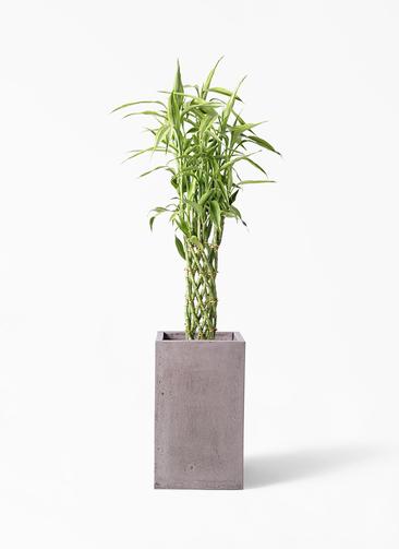 観葉植物 ドラセナ ミリオンバンブー(幸運の竹) 8号 セドナロング グレイ 付き