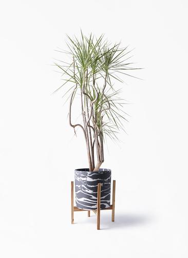 観葉植物 コンシンネ ホワイポリー 8号 曲り ホルスト シリンダー マーブル ウッドポットスタンド付き