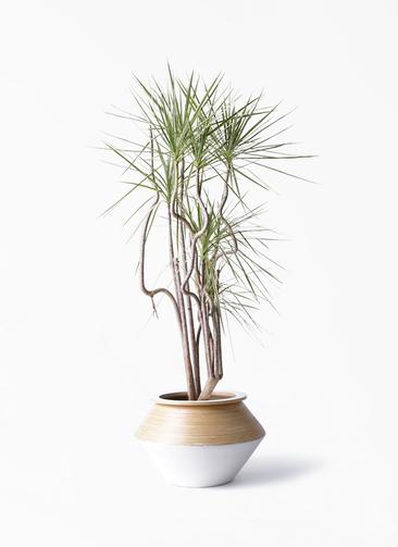 観葉植物 コンシンネ ホワイポリー 8号 曲り アルマジャー 白 付き