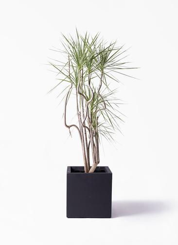 観葉植物 コンシンネ ホワイポリー 8号 曲り ベータ キューブプランター 黒 付き