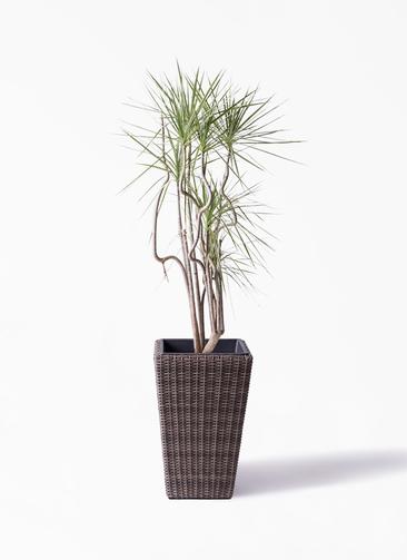観葉植物 コンシンネ ホワイポリー 8号 曲り ウィッカーポット スクエアロング OT 茶 付き