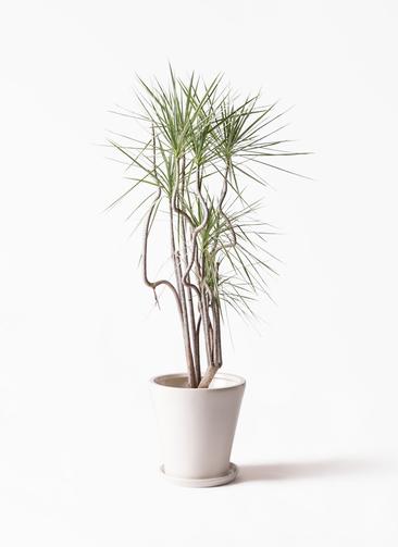 観葉植物 コンシンネ ホワイポリー 8号 曲り サブリナ 白 付き