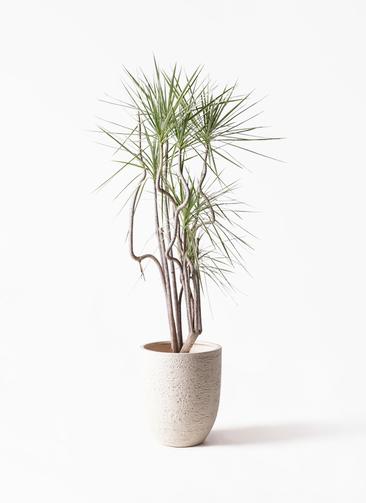 観葉植物 コンシンネ ホワイポリー 8号 曲り ビアスアルトエッグ 白 付き