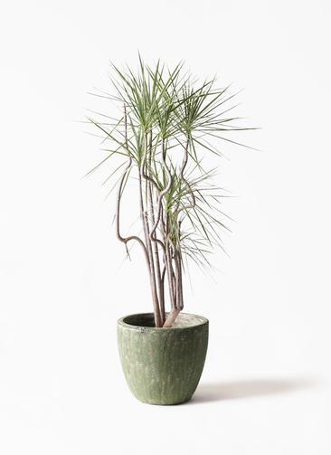 観葉植物 コンシンネ ホワイポリー 8号 曲り アビスソニアミドル 緑 付き