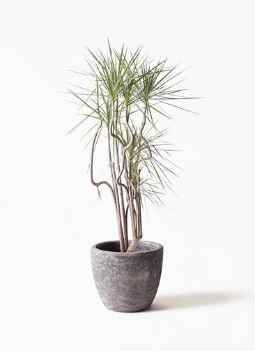 観葉植物 コンシンネ ホワイポリー 8号 曲り アビスソニアミドル 灰 付き