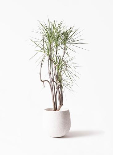 観葉植物 コンシンネ ホワイポリー 8号 曲り エコストーンwhite 付き