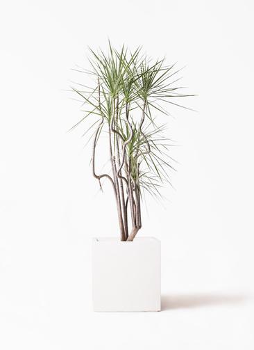 観葉植物 コンシンネ ホワイポリー 8号 曲り バスク キューブ 付き