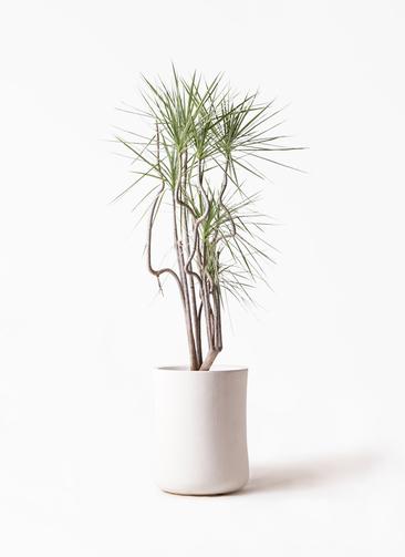 観葉植物 コンシンネ ホワイポリー 8号 曲り バスク ミドル ホワイト 付き