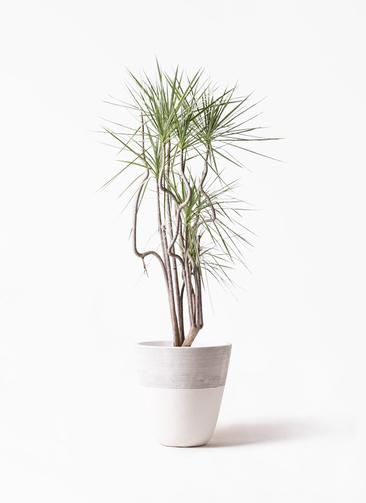 観葉植物 コンシンネ ホワイポリー 8号 曲り ジュピター 白 付き