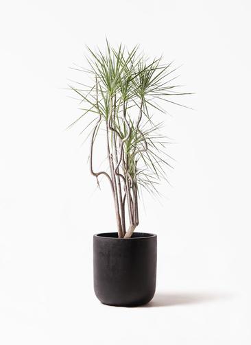 観葉植物 コンシンネ ホワイポリー 8号 曲り エルバ 黒 付き