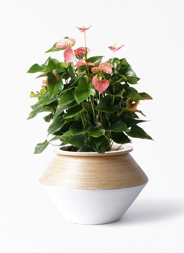 観葉植物 アンスリウム 8号 ピンクチャンピオン アルマジャー 白 付き