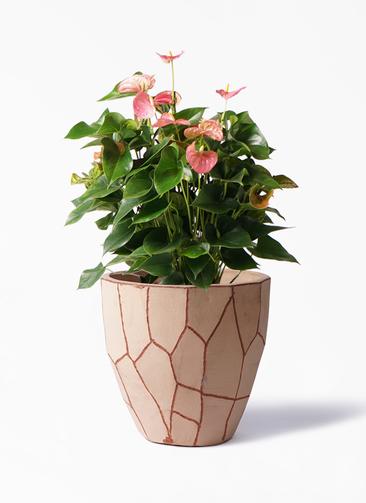 観葉植物 アンスリウム 8号 ピンクチャンピオン ウィスク 付き