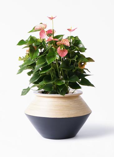 観葉植物 アンスリウム 8号 ピンクチャンピオン アルマジャー 黒 付き