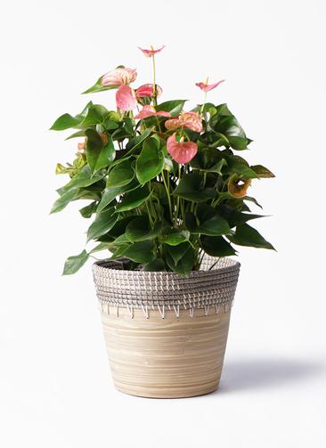 観葉植物 アンスリウム 8号 ピンクチャンピオン アルマ コニック 白 付き