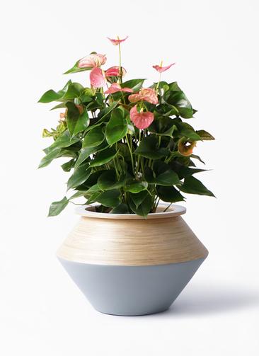 観葉植物 アンスリウム 8号 ピンクチャンピオン アルマジャー グレー 付き