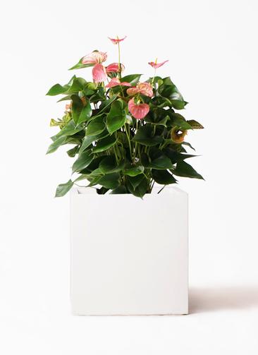 観葉植物 アンスリウム 8号 ピンクチャンピオン バスク キューブ 付き