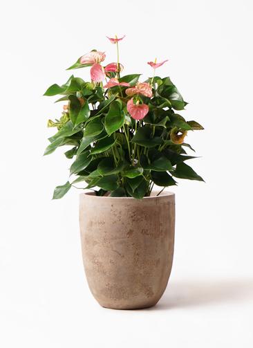 観葉植物 アンスリウム 8号 ピンクチャンピオン ルーガ アンティコ アルトエッグ 付き