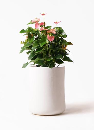 観葉植物 アンスリウム 8号 ピンクチャンピオン バスク ミドル ホワイト 付き