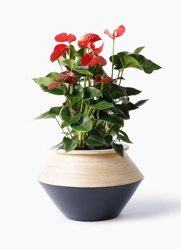 観葉植物 アンスリウム 8号 ダコタ アルマジャー 黒 付き