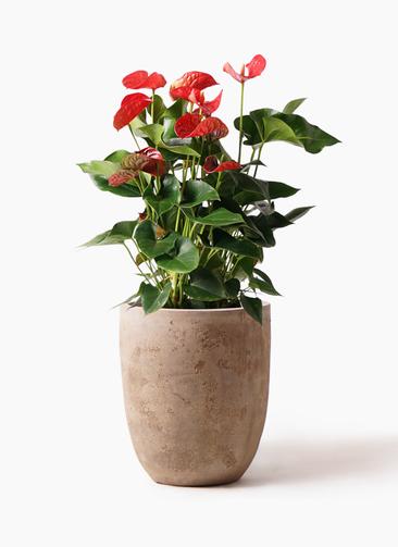 観葉植物 アンスリウム 8号 ダコタ ルーガ アンティコ アルトエッグ 付き