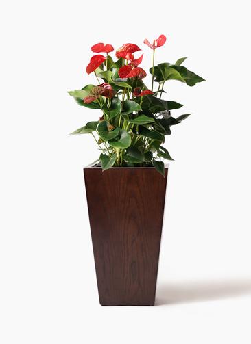 観葉植物 アンスリウム 8号 ダコタ MOKU スクエア 付き