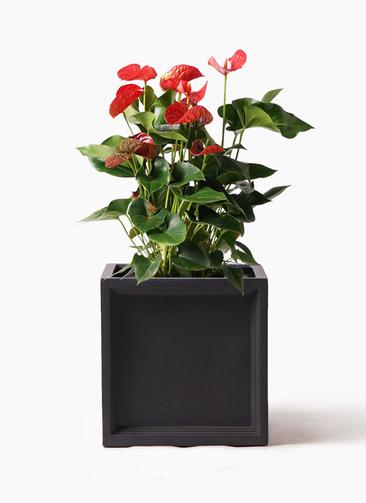 観葉植物 アンスリウム 8号 ダコタ ブリティッシュキューブ 付き
