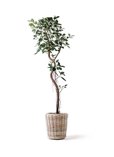 観葉植物 フィカス ジャンボリーフ 10号 モンデリック ラタン 付き