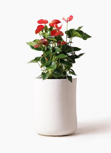観葉植物 アンスリウム 8号 ダコタ バスク ミドル ホワイト 付き
